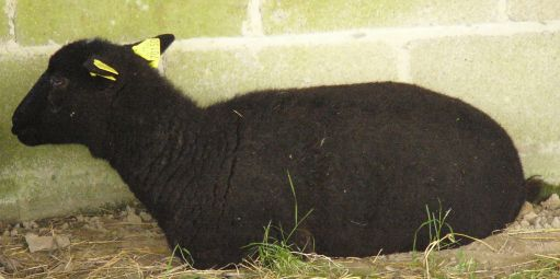 Black sheep lying down