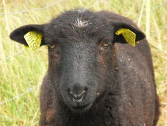 Portrait of a black lamb