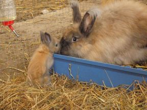 Angora doe with fawn baby