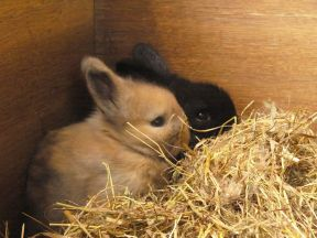 fawn and black rabbit baby in nest box