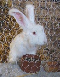 White big angora rabbit