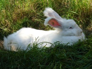 White angora rabbit lying down