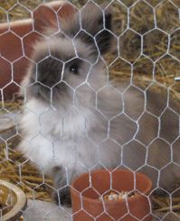 Dwarf angora rabbit in unusual colour: belly light grey, back dark grey