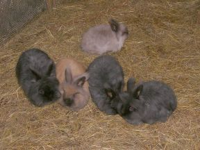 3 black, one fawn, one grey angora rabbit