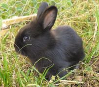 Black baby rabbit