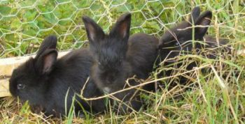3 black baby rabbits