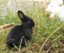 A black baby rabbit, mother in the background