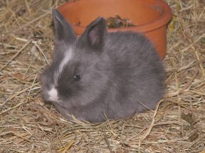 grey baby rabbit