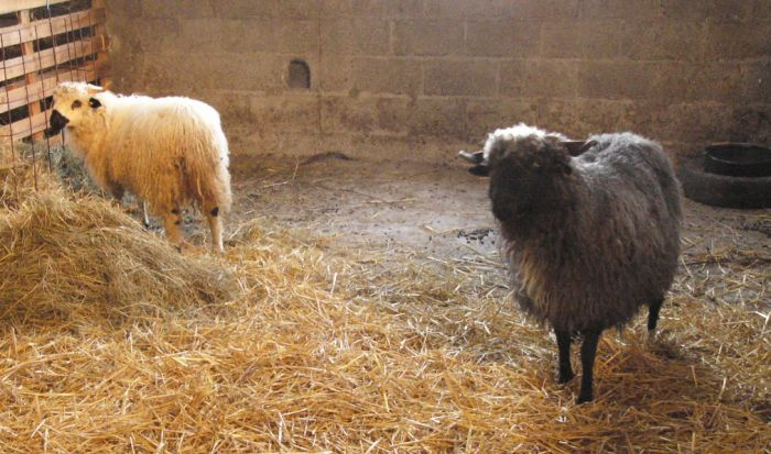 One white and one black long-haired sheep.